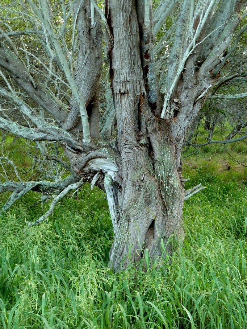 P1020004 Knarly Tree