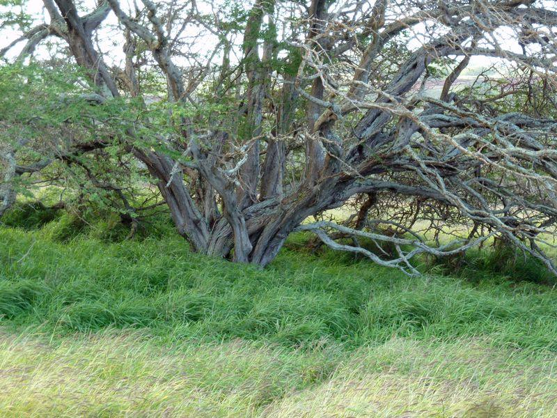 P1020014 Knarly Tree