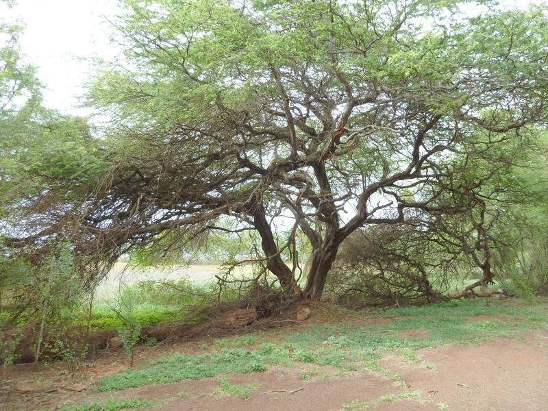 P1020095 Ichabod Kiawe tree