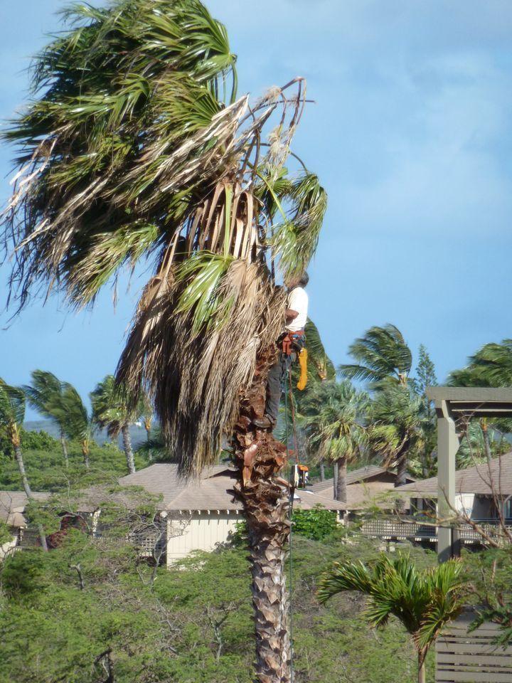 P1020029 Trimming Palm Tree