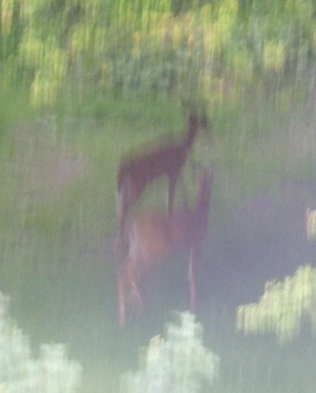 P1020247 deer