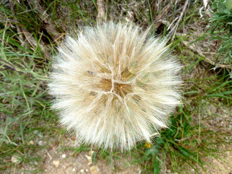 P1020180 not a dandelion