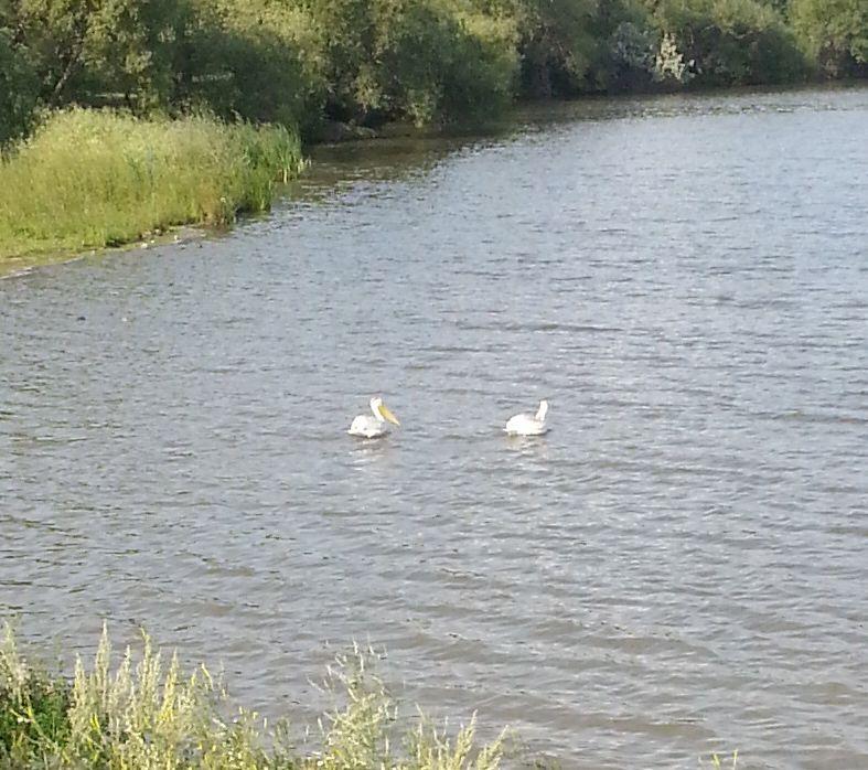 20130814_170059  white pelicans