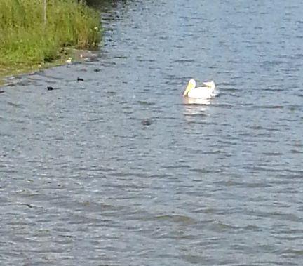 20130814_170157 pelicans swallowing
