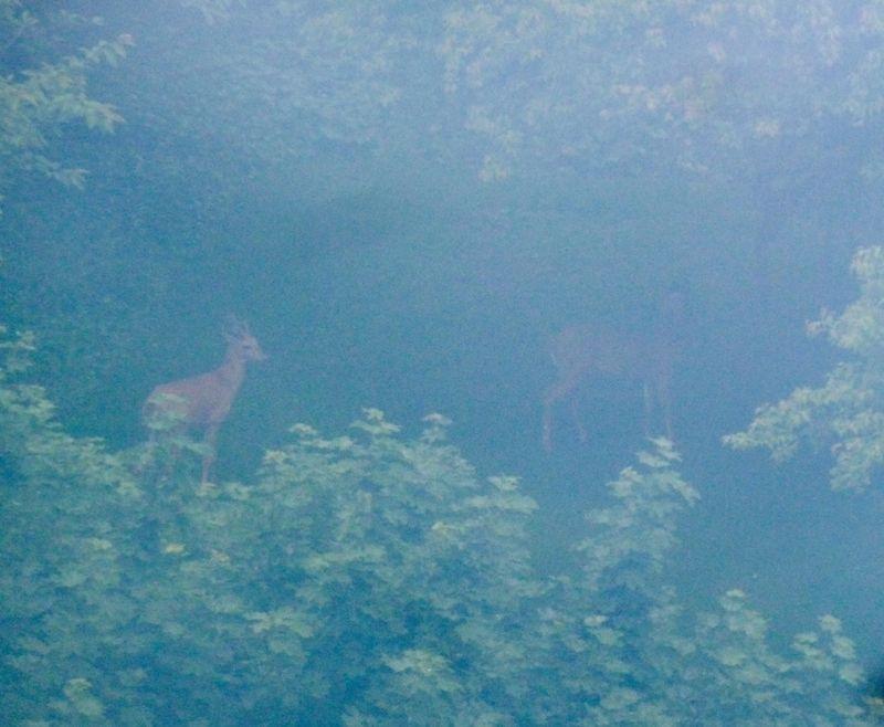 P1020246 deer